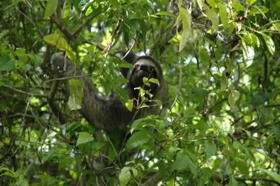 el koala y el oso perezoso: oso perezoso
