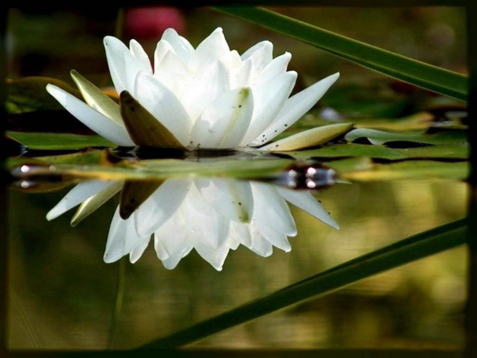 Картинки цветка лотос