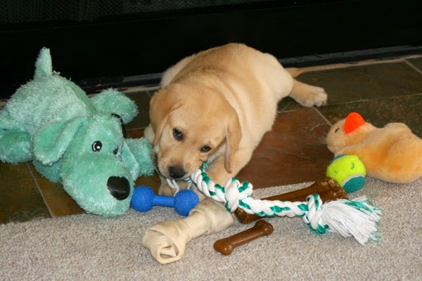 8 week Labrador pup