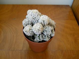 cactus snowcap