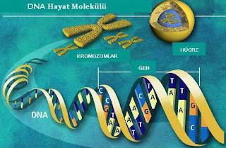 kromozom ve gen arasındaki farklar
