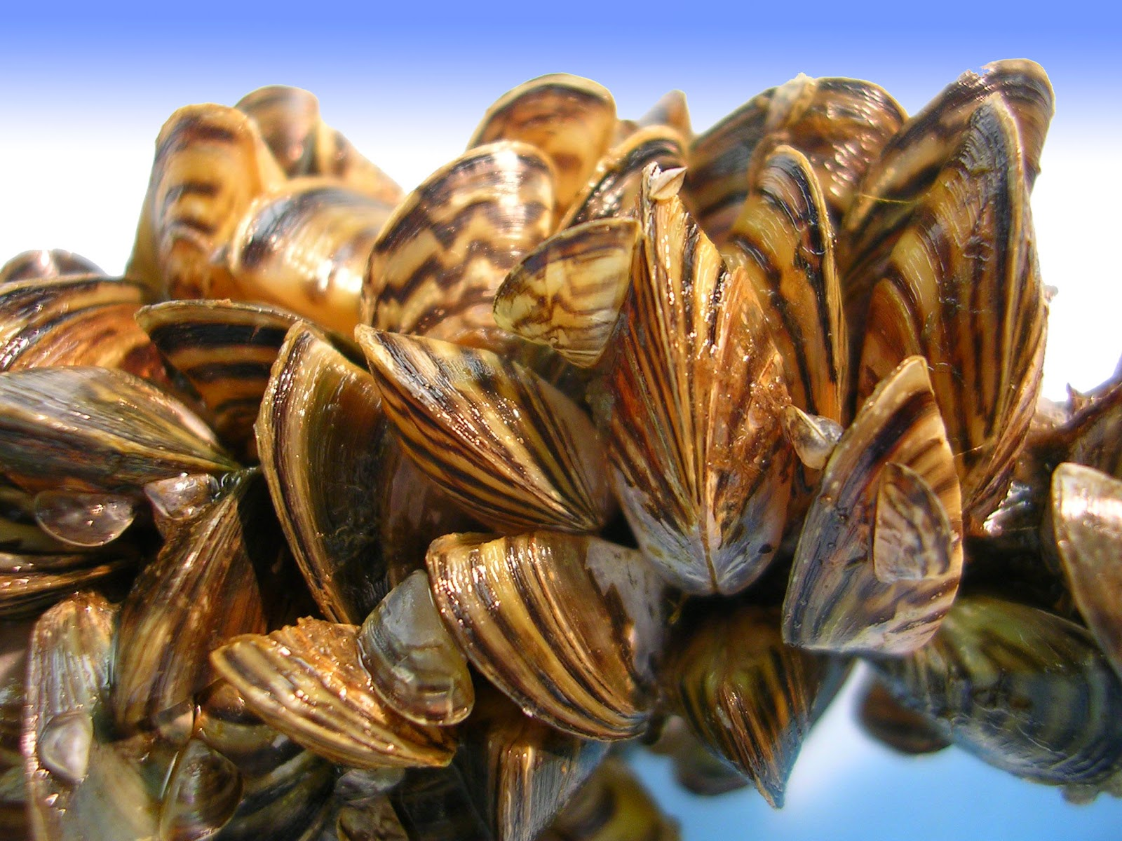 http://www.getsurrey.co.uk/news/surrey-news/quagga-mussels-dangerous-mollusc-spreads-8310531