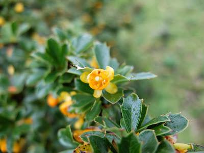 Berberis spp.