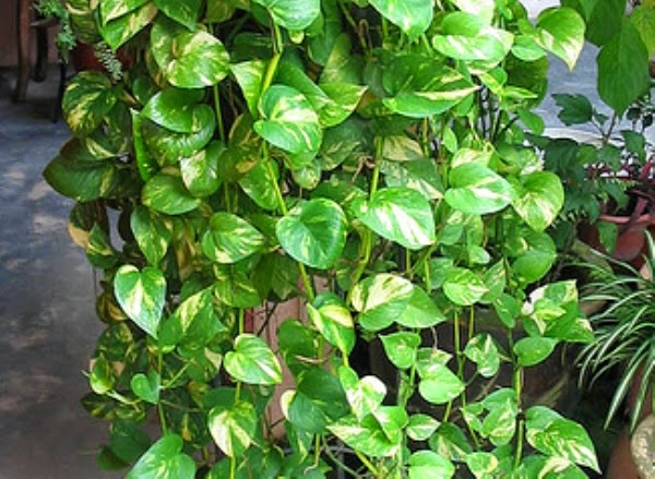 money plant vine looks beautiful , it grows fast too
