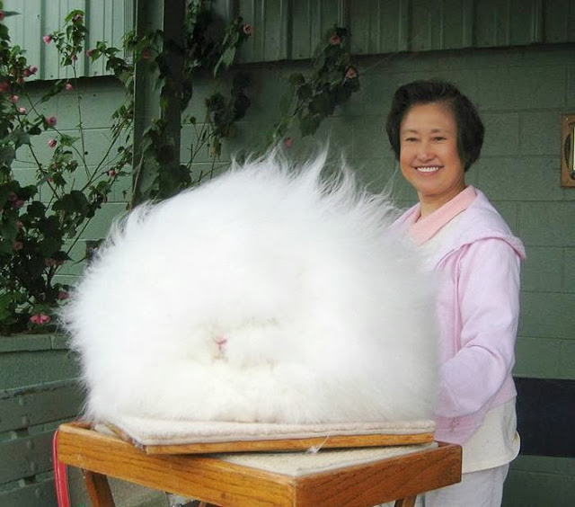 iepure pufos angora rabbit fluffy