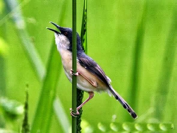 perawatan ciblek burung indonesia share the knownledge