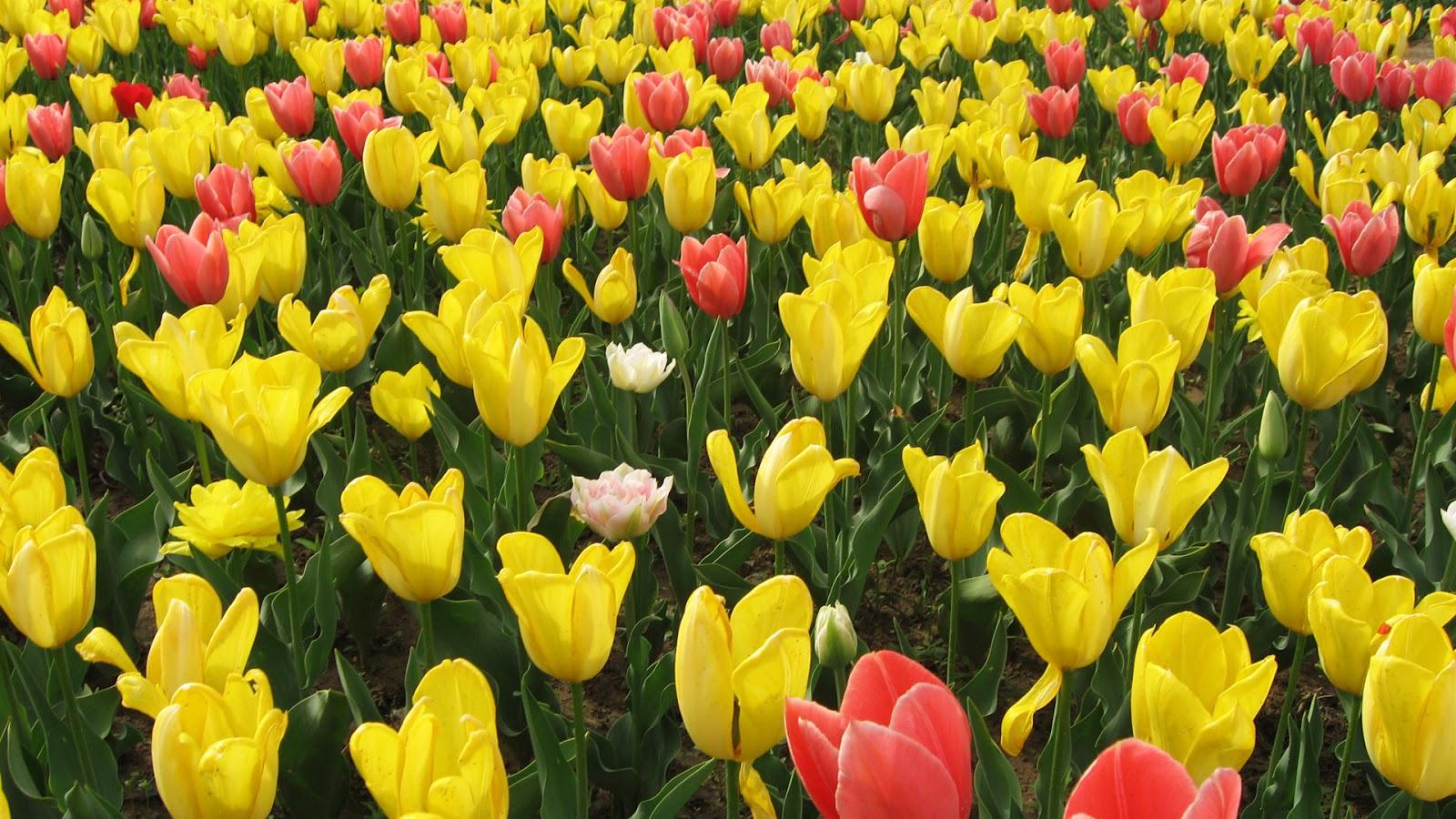 Flowers beauty wallpaers hd flower wallpaper flowers beauty wallpaers hd izmirmasajfo
