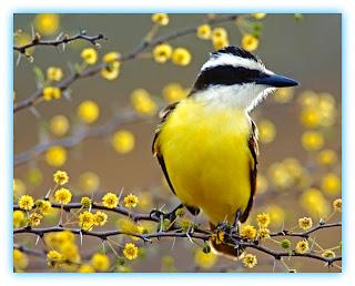 Bem-te-vi num galho com flores amarelas