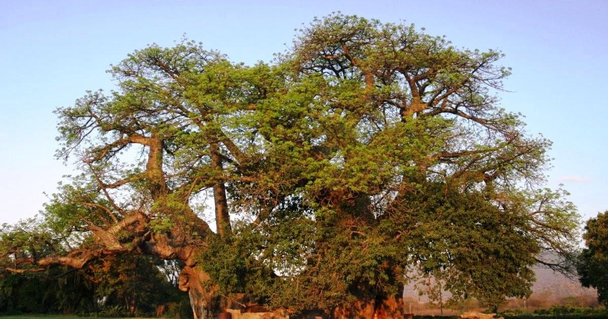 Allpe medio ambiente blog donde tomar for El arbol que no tiene hojas