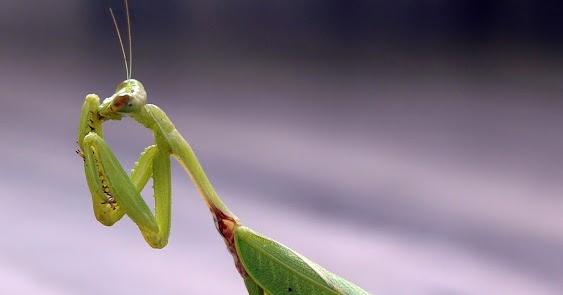 Arab Pest Control: The Praying Mantis 9 Photos