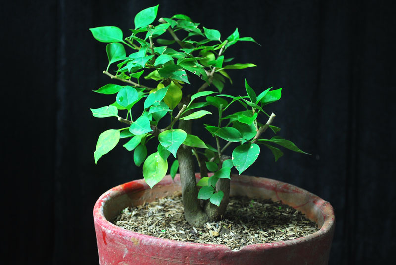 Bogainvillea Bonsai -Mutliple Trunk