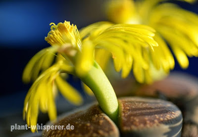 Two yellow Lithops lesliei flowers with a bit of the plant body visible at the bottom, picture date 2014-09-30