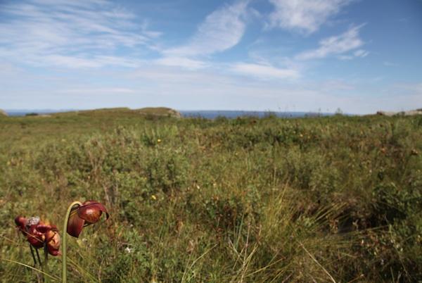 jillian mcdonald, pitcher plants