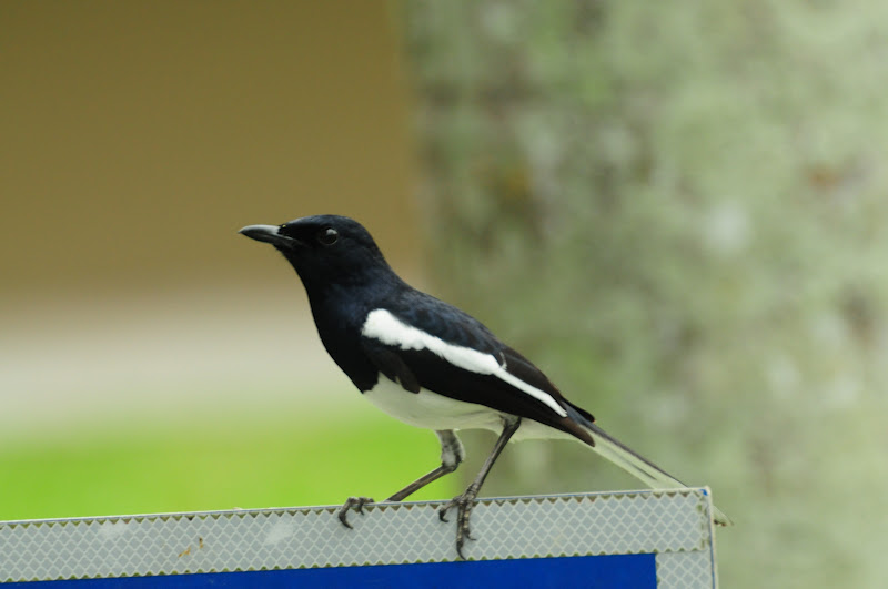 Oriental Magpie Robin, Murai Kampung/Cacing. From USM