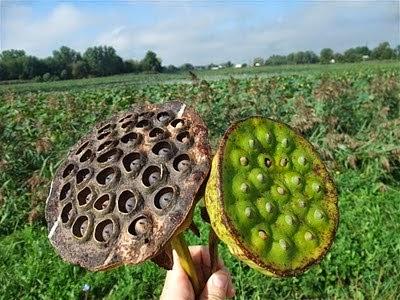 american lotus seed pod, grow