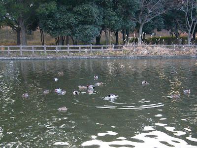 大阪府・深北緑地の水鳥たち