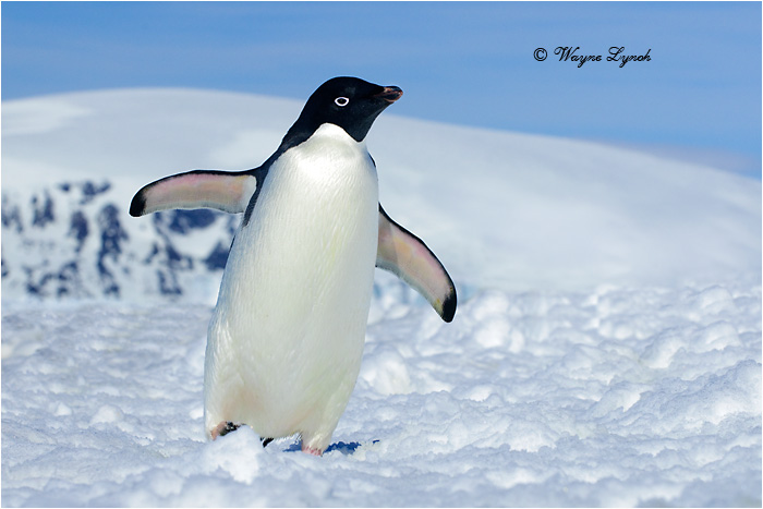 Images of adelie penguins - photo#6