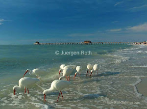 Photo Art Promotion: White Ibis on Naples Beach, Florida