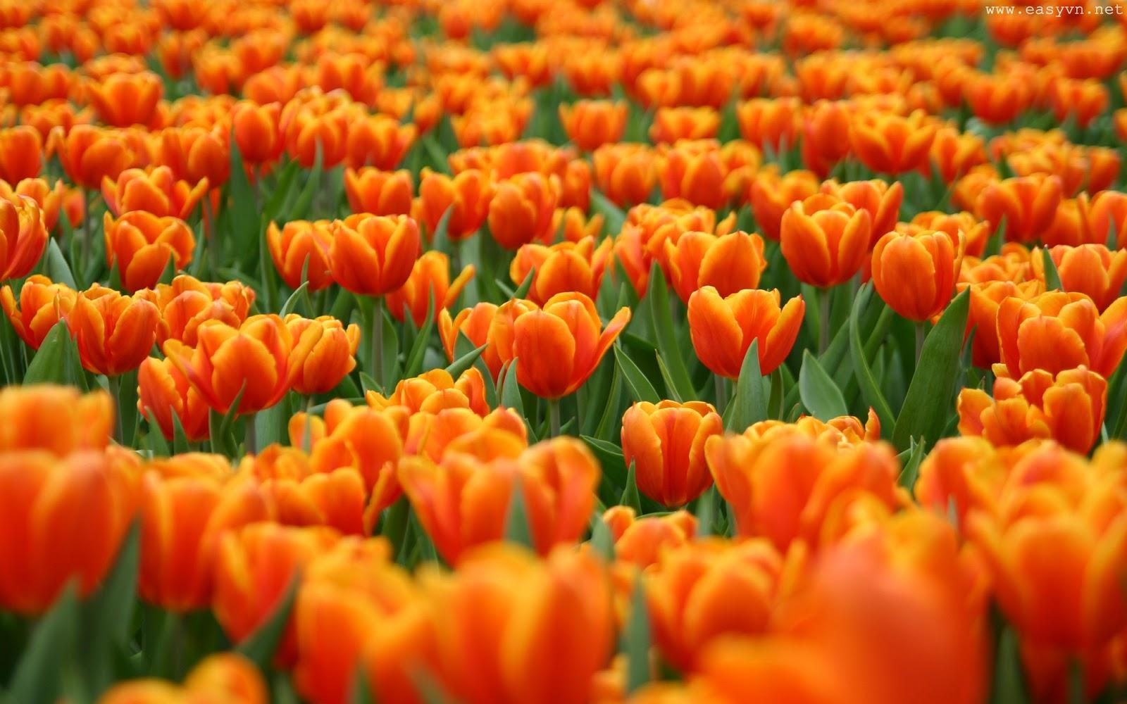 Tulip Flowers Beautiful Natural Scenery Hd Wallpaper High