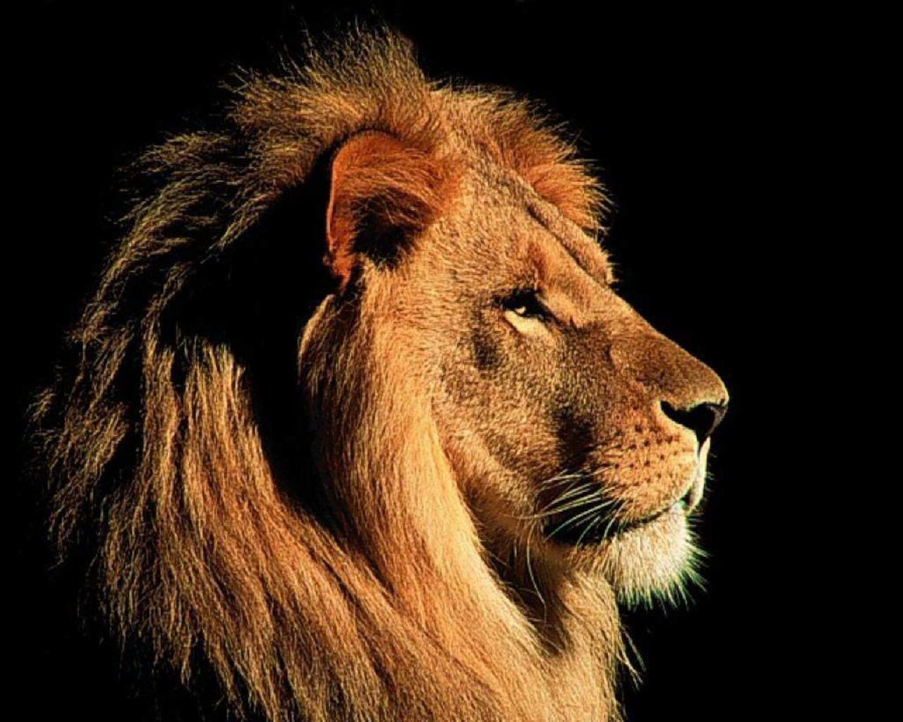 gambar singa
