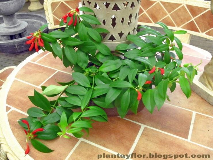 Plantas y flores aeschynanthus speciosus Plantas tropicales interior