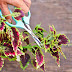 Dividing and multiplying coleus cuttings in water couldn't be easier. We show you how. | Photo: Matthew Benson
