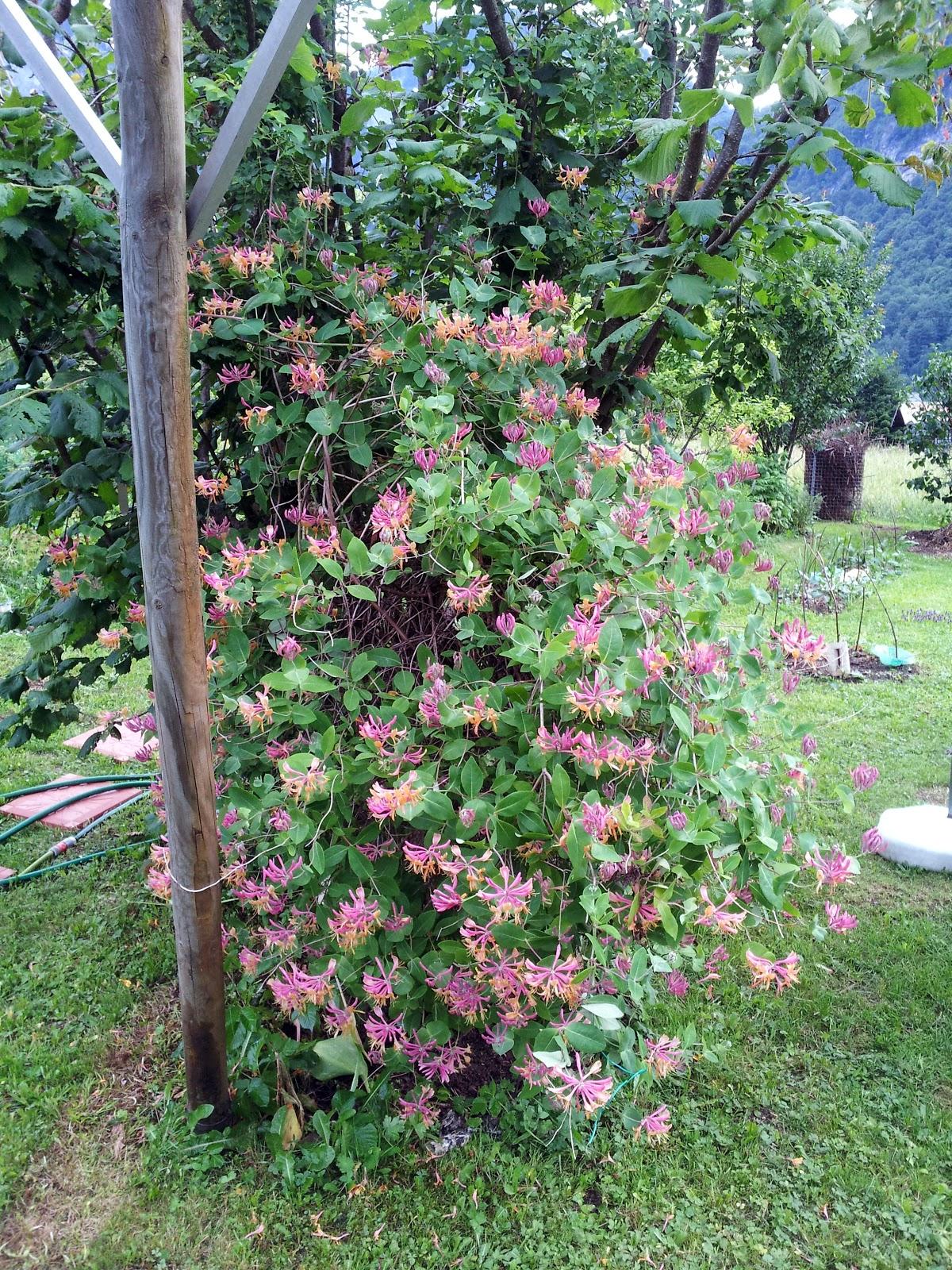 Le potager d 39 andr e 2014 juin 20 floraison abondante for Juin au jardin