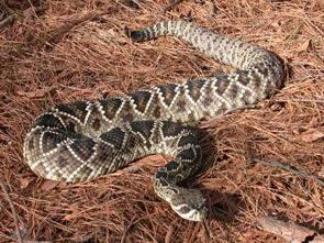 water rattle or diamond rattlesnake