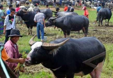 Jenis dan Nilai Kerbau di Mata Orang Toraja