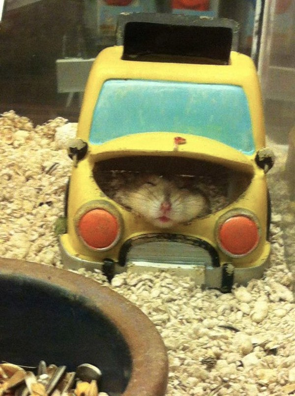 funny animal pictures, hamster in toy car