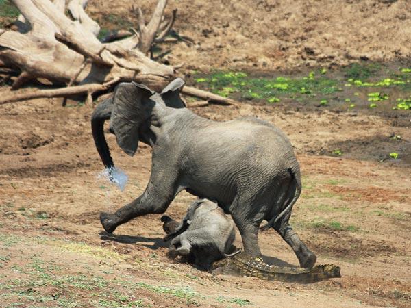 Crocodile Eating Elephant Elephants And Crocodiles