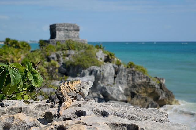 Iguane se dorant au soleil à Tulum