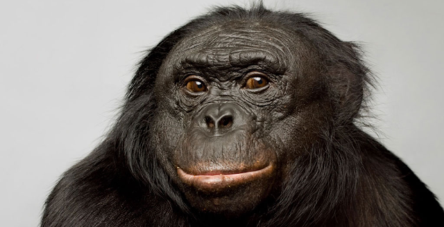 Kanzi the Bonobo Chimp