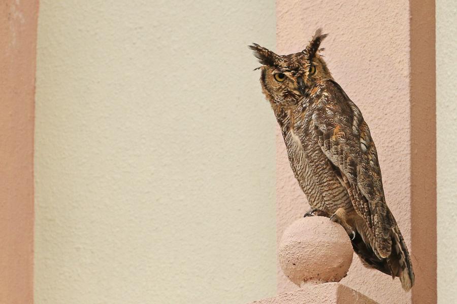 Arabian Spotted Eagle Owl