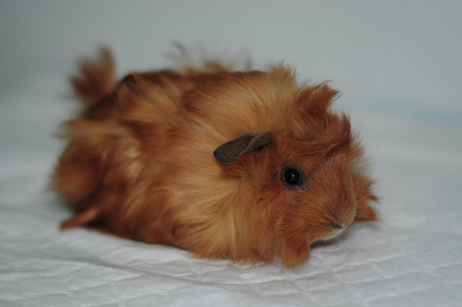 how to take care of a guinea pig