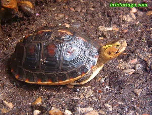 Cistoclemmys flavomarginata