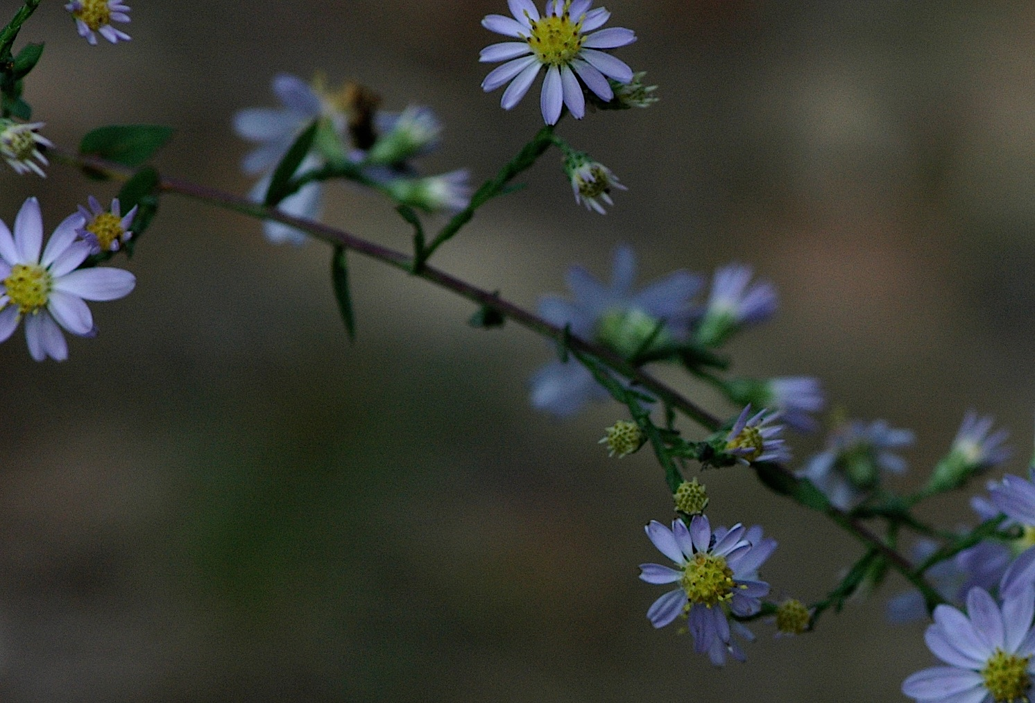 Field Biology In Southeastern Ohio Some Ohio Asters