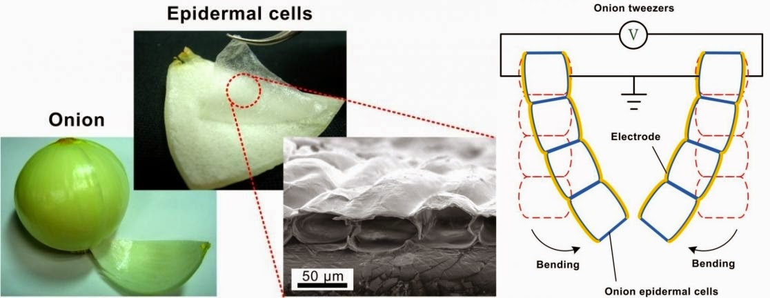 Artificial Muscles Created From Onion Cells