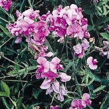 Lathyrus latifolius-Everlasting Sweet Pea