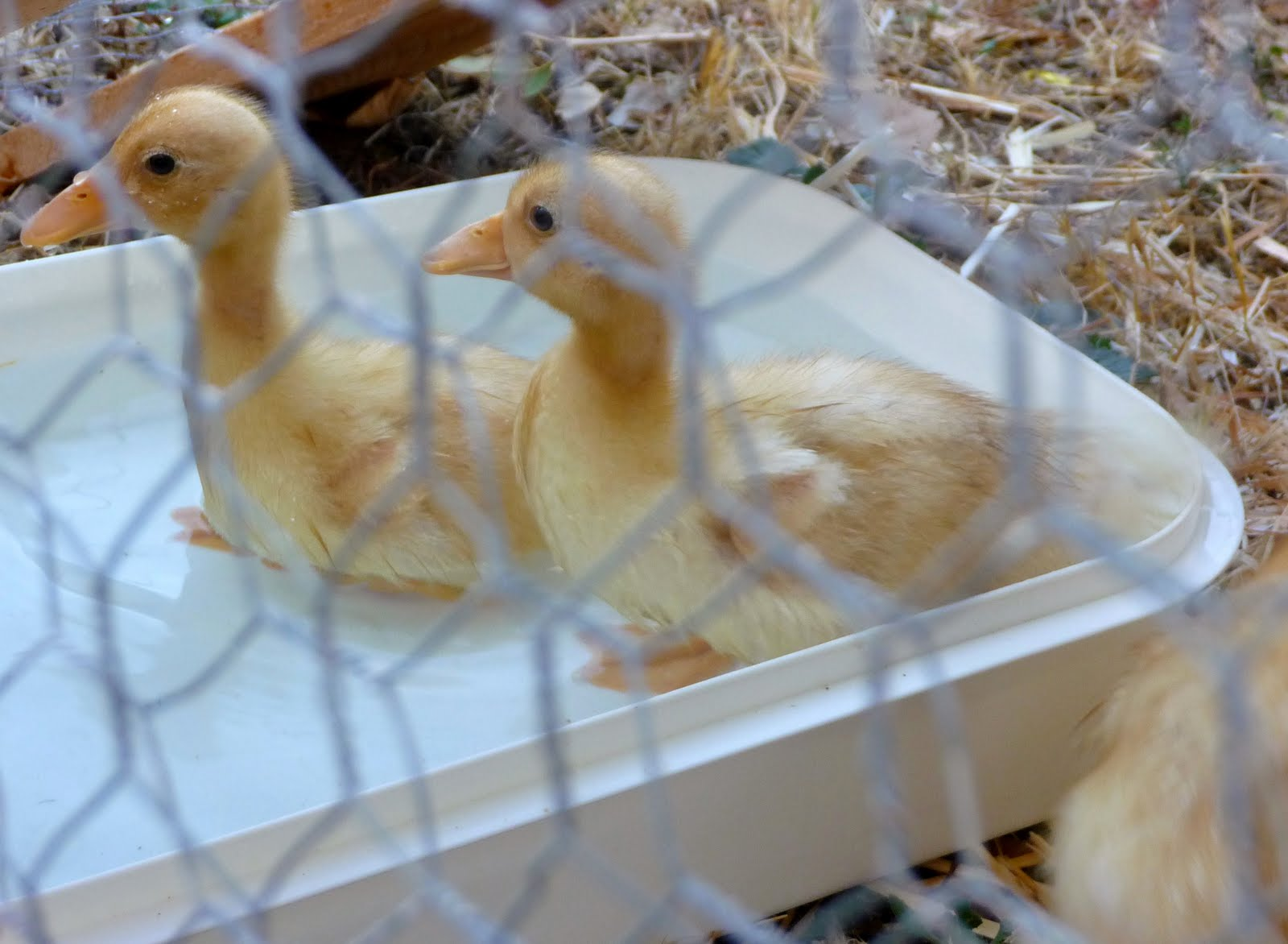 Call Duck Breeding http://farmer-rosehillfarm.blogspot.com/2011/04/raising-call-ducks.html