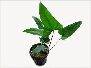 gambar-Anubias-Gracilis-tanaman-rhizome-aquascape