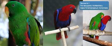 Розплідник з розведення та продажу фазанів, папуг, павичів, голубів.ЖМІТЬ  НА ФОТО,ВІДКР.САЙТ!!