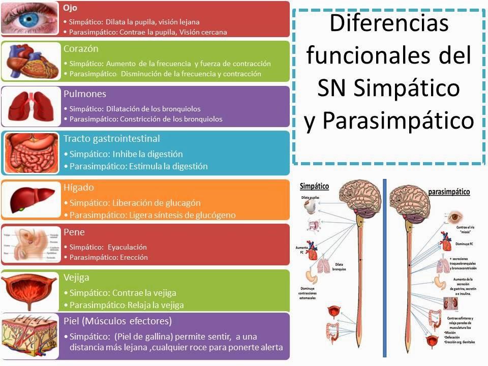 SNA por órganos efectores | Blog de Fisiología Básica de Sofía ...