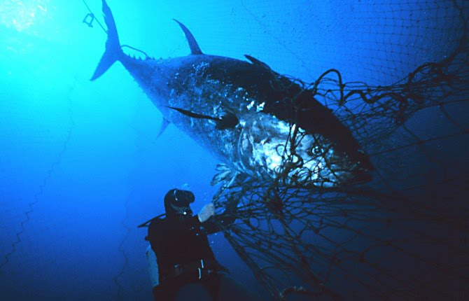 Fanatic cook paul greenberg tuna are something bigger for Tuna fish size
