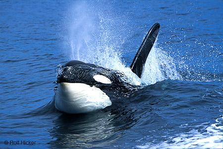 .::Orca::. Orcas