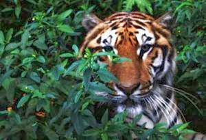 Harimau Jawa Diyakini Masih Ada