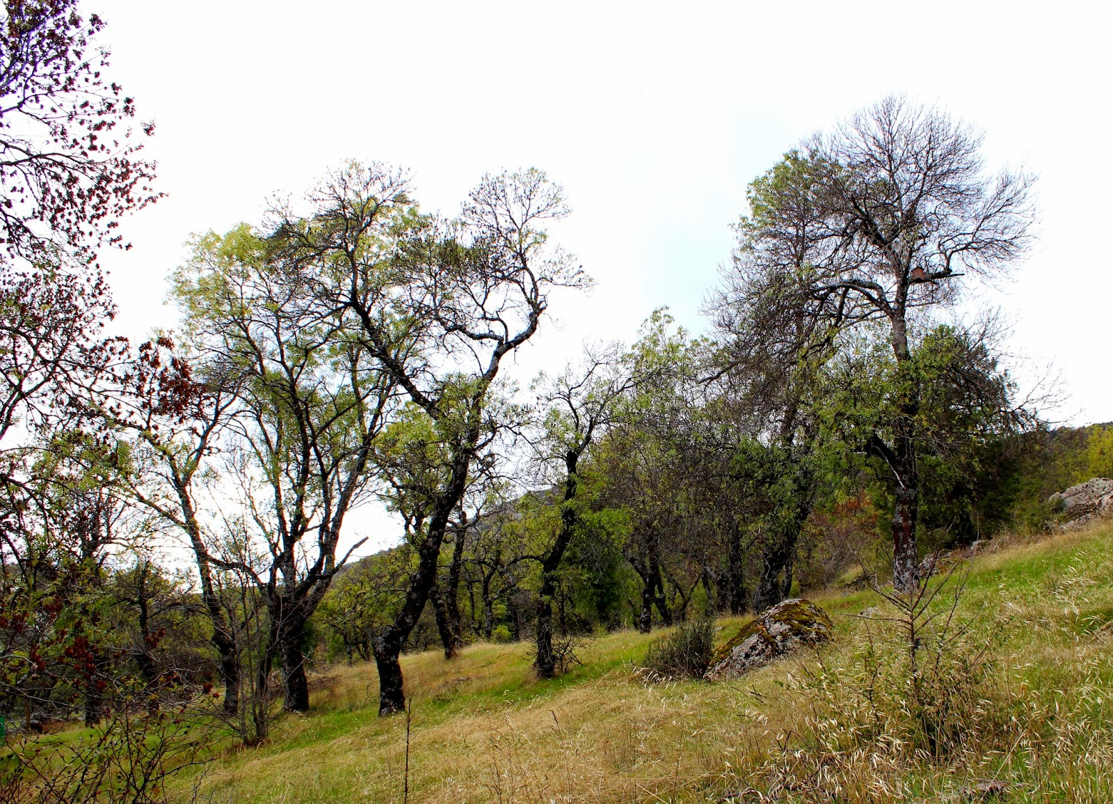 Fresnada Arboreto Luis Ceballos