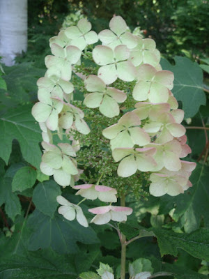oakleaf hydrangea flowers in detail by garden muses: a toronto gardening blog