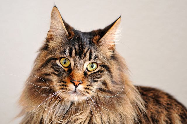 best pictures of cats and more brown tabby maine coon cat picture. Black Bedroom Furniture Sets. Home Design Ideas