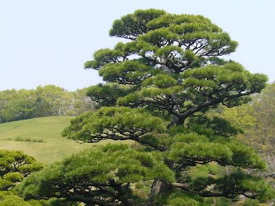 万博記念公園・日本庭園 名木 クロマツ